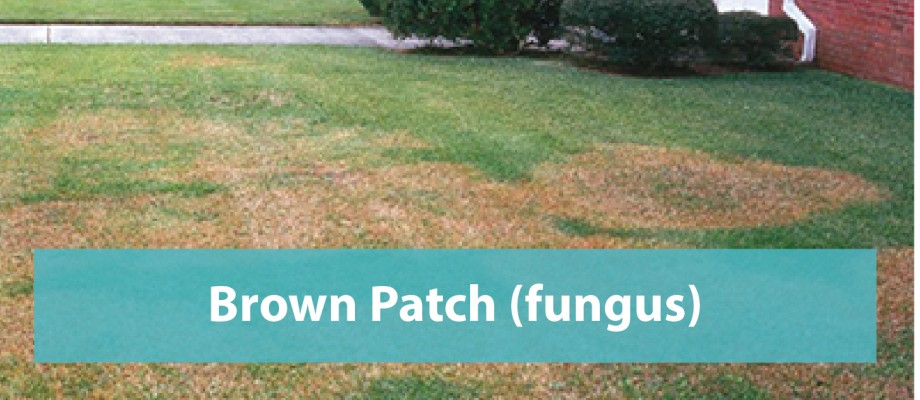 Brown Patch (Fungus)