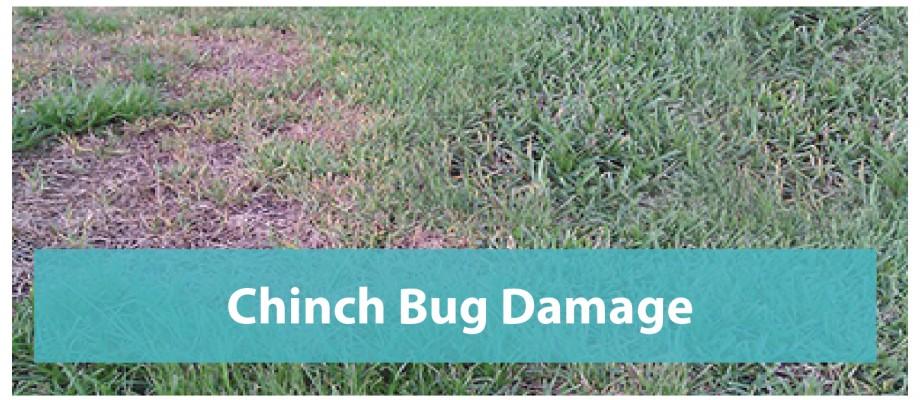 Chinch Bug Damage