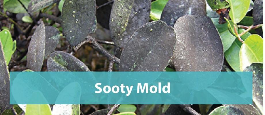Sooty Mold
