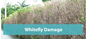 Whitefly-damage-Orlando_Slider1-01-01